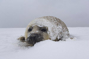 Grey seal (Halichoerus grypus) pup on snow covered beach, Donna Nook, Lincolnshire, UK, November 2008  -  Wild Wonders of Europe / Geslin