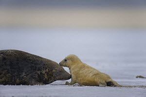Grey seal (Halichoerus grypus) with pup in snow, Donna Nook, Lincolnshire, UK, November 2008  -  Wild Wonders of Europe / Geslin