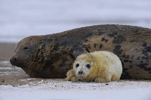 Grey seal (Halichoerus grypus) with pup, Donna Nook, Lincolnshire, UK, November 2008  -  Wild Wonders of Europe / Geslin