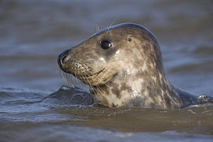 Grey seal (Halichoerus grypus) swimming in sea, Donna Nook, Lincolnshire, UK, November 2008  -  Wild Wonders of Europe / Geslin