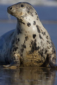 Grey seal (Halichoerus grypus) portrait, Donna Nook, Lincolnshire, UK, November 2008  -  Wild Wonders of Europe / Geslin