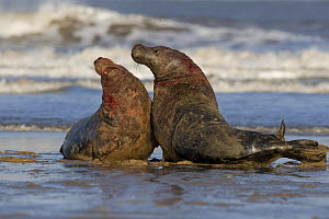 Grey seal (Halichoerus grypus) males fighting, Donna Nook, Lincolnshire, UK, November 2008  -  Wild Wonders of Europe / Geslin