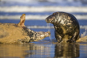 Two Grey seals (Halichoerus grypus) Donna Nook, Lincolnshire, UK, November 2008  -  Wild Wonders of Europe / Geslin