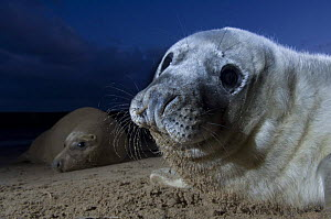 Grey seal (Halichoerus grypus) pup with adult in the background, Donna Nook, Lincolnshire, UK, November 2008  -  Wild Wonders of Europe / Geslin