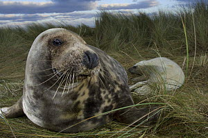 Grey seal (Halichoerus grypus) with pup in the dunes, Donna Nook, Lincolnshire, UK, November 2008.  -  Wild Wonders of Europe / Geslin