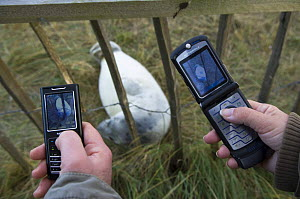 People using mobile phone to photograph Grey seal (Halichoerus grypus) pup through fence, Donna Nook, Lincolnshire, UK, November 2008  -  Wild Wonders of Europe / Geslin