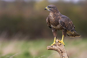 Common buzzard (Buteo buteo) perched on stump, Glos, UK, April  -  Steve Knell