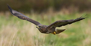 Common buzzard (Buteo buteo) flying low over farmland, Glos, UK, April  -  Steve Knell