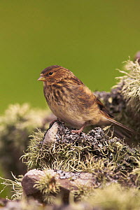 Twite (Cardeu / Acanthis flavirostris) perched on wall covered in lichen. Shetland Isles, Scotland, UK, June  -  Steve Knell