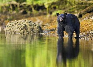 Black Bear (Ursus americanus) at waters edge, Barkley Sound, Vancouver Island, British Columbia, Canada - Matthew Maran