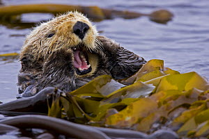 Sea otter (Enhydra lutris) floating on back amongst kelp, yawning, Barkley Sound, Vancouver Island, British Columbia, Canada - Matthew Maran