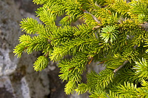 Sitka spruce (Picea sitchensis) close up of needles, Wild Pacific Trail, Vancouver Island, Canada - Matthew Maran