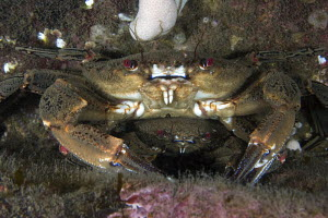 Pair of velvet swimming crabs (Liocarcinus puber) in pre-mating embrace. North Sea at St Abbs, Scotland.  -  Elaine Whiteford