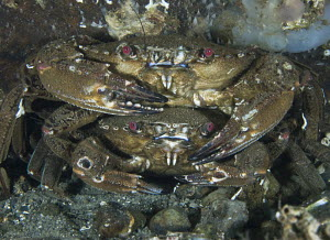 Pair of velvet swimming crabs (Liocarcinus puber) in pre-mating embrace. Loch Long, Scotland.  -  Elaine Whiteford