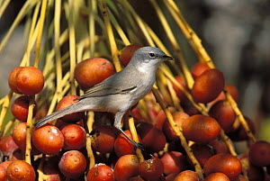 Lesser whitethroat {Sylvia curruca} perched on ripe dates, Mabr, Oman  -  Hanne & Jens Eriksen