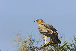 Greater spotted eagle {Aquila clanga fulvescens} perched in tree, Sohar, Oman - Hanne & Jens Eriksen