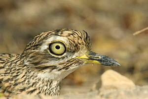 Spotted thick knee {Burhinus capensis dodsoni} close-up, Salalah, Oman - Hanne & Jens Eriksen