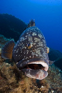 Dusky grouper (Epinephelus marginatus) 'Merouville' ('grouper City') Lavezzi Islands, Corsica, France, September 2008  -  Wild Wonders of Europe / Pitkin