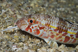 Striped red mullet (Mullus surmuletus) probing for food with its barbels, at night, Elephant Bay, Lavezzi Islands, Corsica, France, September 2008  -  Wild Wonders of Europe / Pitkin