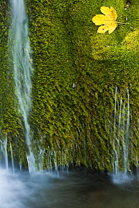Water flowing over moss with a Sycamore leaf, Kosjak lake, Plitvice Lakes National Park, Croatia, October 2008  -  Wild Wonders of Europe / Biancarelli