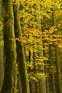 Autumn in Corkova Uvala, virgin mixed forest of Silver fir (Abies alba) European beech (Fagus sylvatica) and Spruce (Picea abies) trees, Plitvice Lakes National Park, Croatia, October 2008  -  Wild Wonders of Europe / Biancarelli