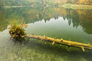 Sunken tree trunk with vegetation in Batinovac lake, Upper Lakes, Plitvice Lakes National Park, Croatia, October 2008  -  Wild Wonders of Europe / Biancarelli