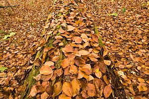 Dead Spruce (Picea abies) trunk covered in fallen beech leaves on the forest floor, Corkova Uvala, the virgin forest, Plitvice Lakes National Park, Croatia, October 2008  -  Wild Wonders of Europe / Biancarelli