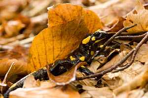 European / Fire salamander (Salamandra salamandra) amongst dead leaves on forest floor, Plitvice National Park, Croatia, October 2008 - Wild Wonders of Europe / Biancarelli
