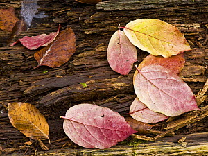 Spindle (Euonymus sp) and European beech (Fagus sylvatica) leaves on a fallen tree trunk, Plitvice Lakes National Park, Croatia, October 2008 - Wild Wonders of Europe / Biancarelli
