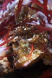 Long-spined sea scorpion (Taurulus bubalis) with a skeleton shrimp (Caprellidae) on its cheek, Saltstraumen, Bod�, Norway, October 2008  -  Wild Wonders of Europe / Lundgren