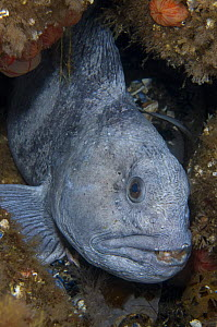 Atlantic wolffish (Anarhichas lupus) in hole between rocks, Saltstraumen, Bod�, Norway, October 2008  -  Wild Wonders of Europe / Lundgren