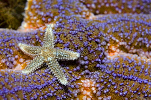 Common starfish (Asterias rubens) Saltstraumen, Bod�, Norway, October 2008 - Wild Wonders of Europe / Lundgren