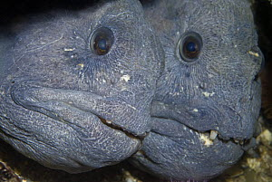 Two Atlantic wolffish (Anarhichas lupus) Saltstraumen, Bod�, Norway, October 2008  -  Wild Wonders of Europe / Lundgren