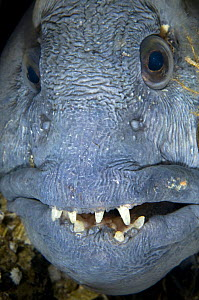 Atlantic wolffish (Anarhichas lupus) close-up of face, Saltstraumen, Bod�, Norway, October 2008  -  Wild Wonders of Europe / Lundgren