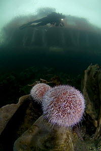 Two Common / Edible sea urchins (Echinus esculentus) on a rock with Klas Malmberg diving, house on the coast visible above surface, Saltstraumen, Bod�, Norway, October 2008 - Wild Wonders of Europe / Lundgren