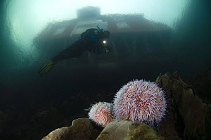 Two Edible / Common sea urchins (Echinus esculentus) with Klas Malmberg diving, red house on the coast visible above surface, Saltstraumen, Bod�, Norway, October 2008  -  Wild Wonders of Europe / Lundgren