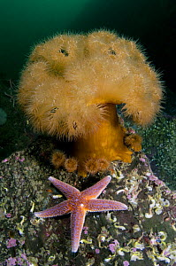 Common starfish (Asterias rubens) by a large Anemone, Saltstraumen, Bod�, Norway, October 2008 - Wild Wonders of Europe / Lundgren