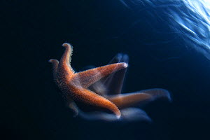 Common starfish (Asterias rubens) swimming, Saltstraumen, Bod�, Norway, October 2008 - Wild Wonders of Europe / Lundgren