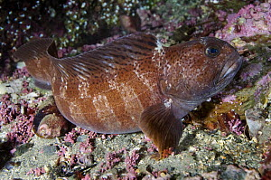 Juvenile Atlantic wolffish (Anarhichas lupus) Saltstraumen, Bod�, Norway, October 2008  -  Wild Wonders of Europe / Lundgren