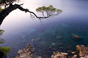 Pine tree branch over the sea, Alonissos island, Greece, September 2008  -  Wild Wonders of Europe / Unterthiner