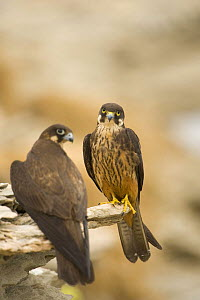Eleonora's falcon (Falco eleonorae) pair on rock ledge, Andros, Greece, September 2008  -  Wild Wonders of Europe / Unterthiner
