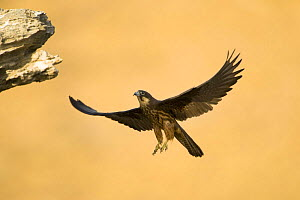 Eleonora's falcon (Falco eleonorae) in flight, Andros, Greece, September 2008  -  Wild Wonders of Europe / Unterthiner