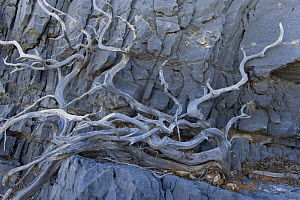 Gnarled tree branches on a cliff, Antikythera island, Greece, September 2008 - Wild Wonders of Europe / Unterthiner