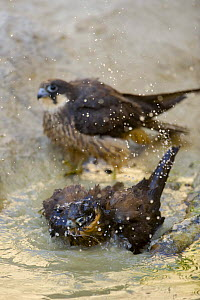 Eleonora's falcon (Falco eleonorae) bathing in small pool, another at waters edge, Antikythera, Greece, September 2008 - Wild Wonders of Europe / Unterthiner