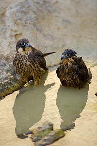 Two Eleonora's falcons (Falco eleonorae) standing in pool of water, one wet from bathing, Antikythera, Greece, September 2008 - Wild Wonders of Europe / Unterthiner