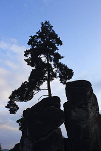 Pine tree growing on rock silhouetted, Jetrichovice, Ceske Svycarsko / Bohemian Switzerland National Park, Czech Republic, September 2008 - Wild Wonders of Europe / Ruiz