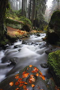 Krinice River flowing past large rocks in forest with fallen leaves on rock in river, Kyov, Ceske Svycarsko / Bohemian Switzerland National Park, Czech Republic, November 2008 - Wild Wonders of Europe / Ruiz