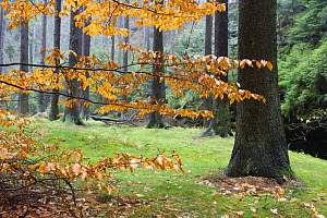 Autumn leaves and tree trunks, Rynartice, Ceske Svycarsko / Bohemian Switzerland National Park, Czech Republic, November 2008  -  Wild Wonders of Europe / Ruiz