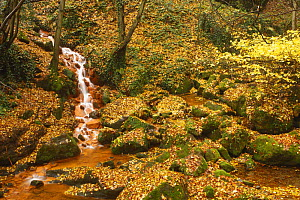 Sucha Kamenice / Creek flowing between leaf covered rocks, Hrensko, Ceske Svycarsko / Bohemian Switzerland National Park, Czech Republic, November 2008  -  Wild Wonders of Europe / Ruiz