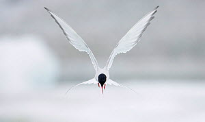 Arctic Tern (Sterna paradisaea) hovering in flight, June, Iceland. Magic Moments book plate. - Markus Varesvuo